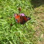 Fjäril på blåklint